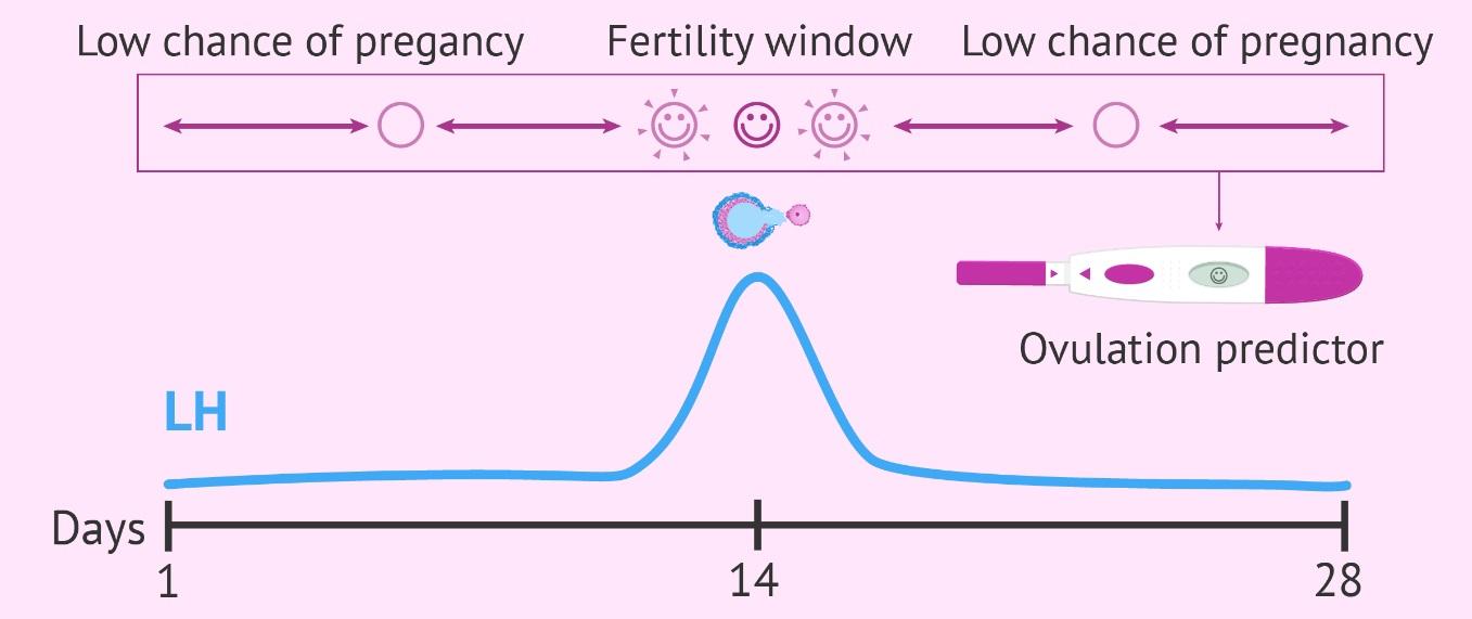 Ovulation Test Strip Ovulation Predictor Kits (OPKs)